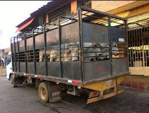 Retenidos por Poliguárico 30 toros por inconsistencia en documentación